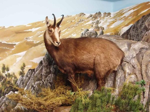 Ecomuseo Val Sanagra - Il camoscio del museo val Sanagra