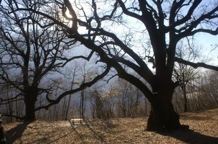 Rogolone e Rogolino - Querce Secolari della Val Sanagra